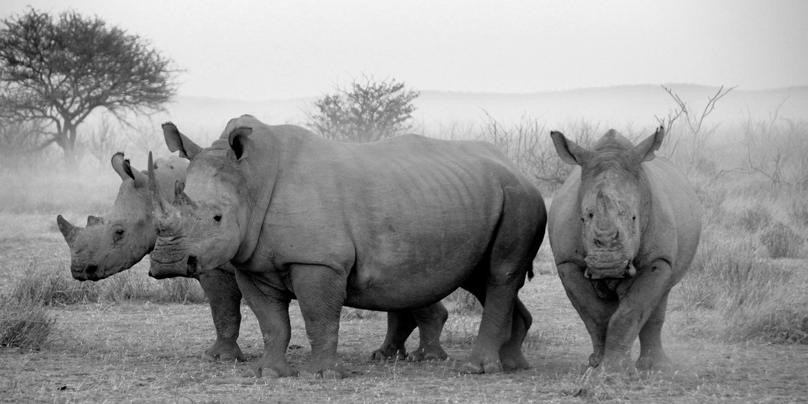 white rhino, white rhino photos, African rhino, Namibia wildlife, Namibia photos, Etosha National Park, Etosha wildlife photos