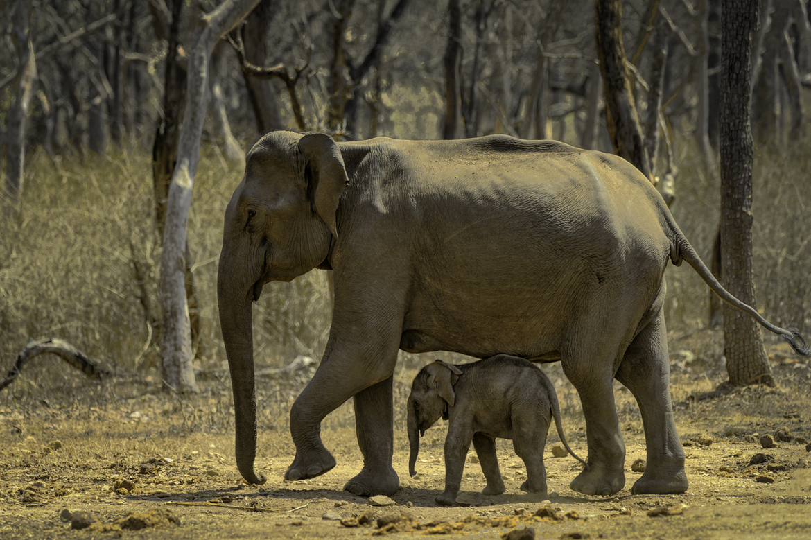 elephant, elephant photos, baby elephant, baby elephant photos, asian elephant, asian elephant photos, India wildlife, elephants in India, Maharashtra wildlife