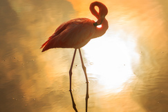 flamingo, greater flamingo, flamingo photos, Isabela Island, Galapagos Islands, Galapagos wildlife, birding in the Galapagos, Galapagos birds, Isabela wildlife