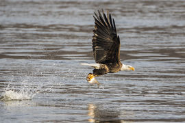 bald eagle, bald eagle photos, bald eagle images, united states wildlife, american wildlife photos, american birds, birds in the united states, bald eagles in america, America's national bird, birding in Maryland, Maryland wildlife