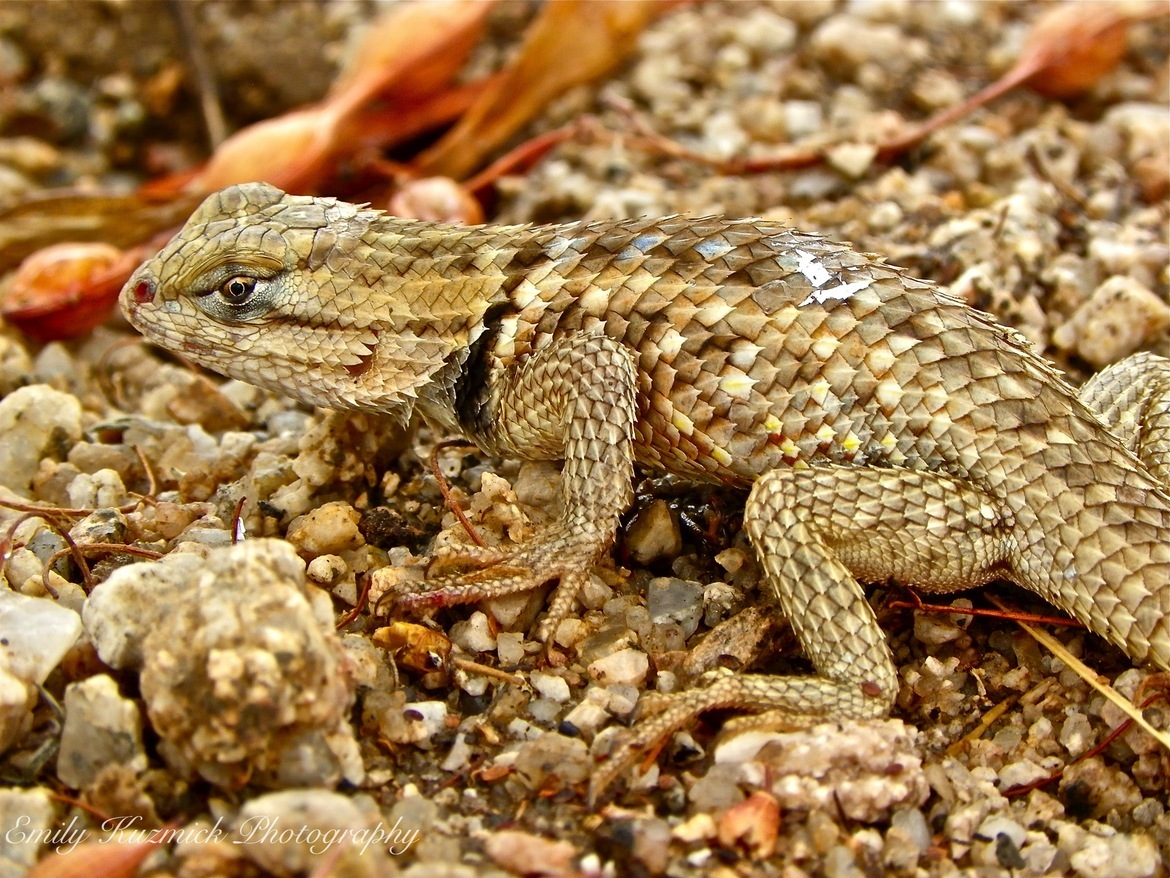 lizard, lizard photos, lizard images, desert spiny lizard, desert spiny lizard photos, gila river indian reservation, gila river indian reservation wildlife, unites states wildlife, america wildlife