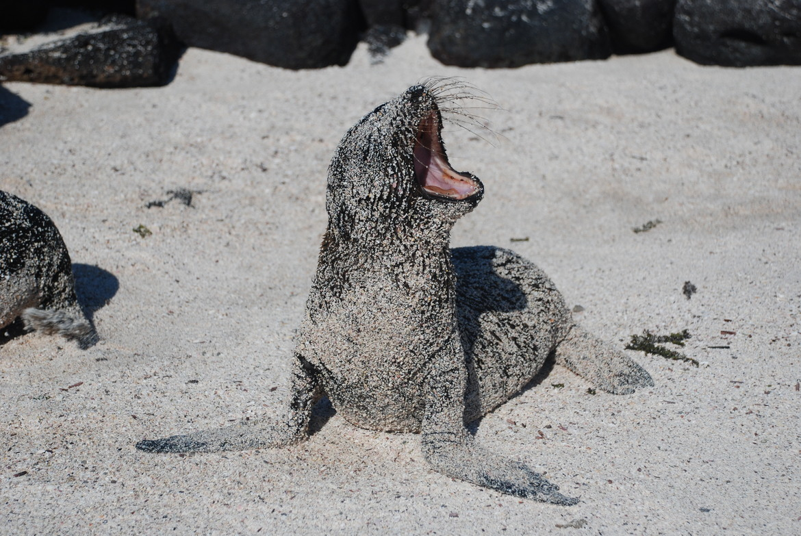 sea lion, sea lion photos, Galapagos wildlife, Galapagos Islands, baby sea lion, sea lion pup, sea lion pup photos