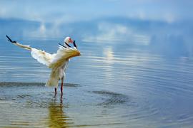 white ibis, white ibis photos, ibis, ibis photos, Florida wildlife, Florida birds, Florida birding