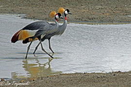 Grid grey crowned cranes