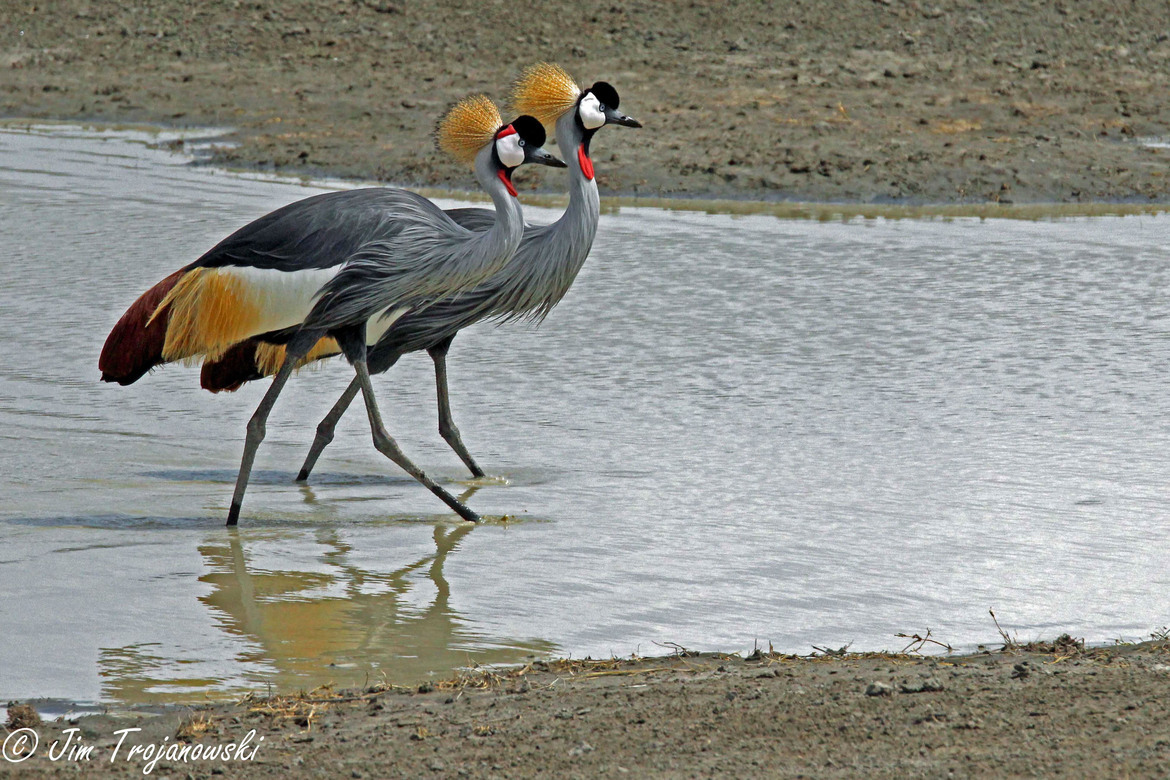 grey-crowned crane, grey-crowned crane photos, Tanzania wildlife, Tanzania birds, Ngorongoro Crater, Ngorongoro Crater photos, Ngorongoro Crater wildlife photos, Africa safari, Tanzania safari