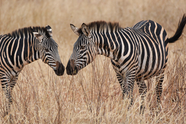 Grid zebras greeting 5667