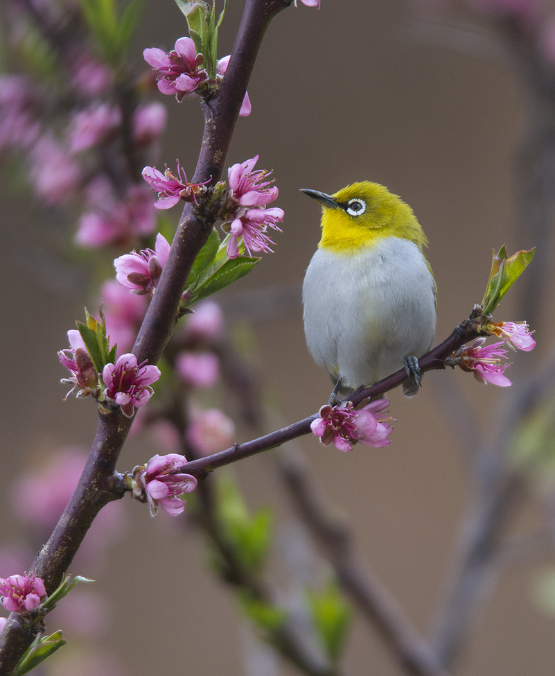 oriental white-eye, oriental white-eye photos, birding in India, birds in India, Indian birds, Pangot, India wildlife, Pangot wildlife