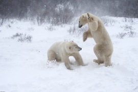 Polar bear, sparring, Churchill, Manitoba, polar bear photography, Canada