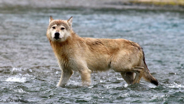 wolf, wolf photos, gray wolf, gray wolf photos, canis lupus, Katmai National Park, Katmai wildlife, Alaska wildlife, Alaska wolves, Katmai wolves