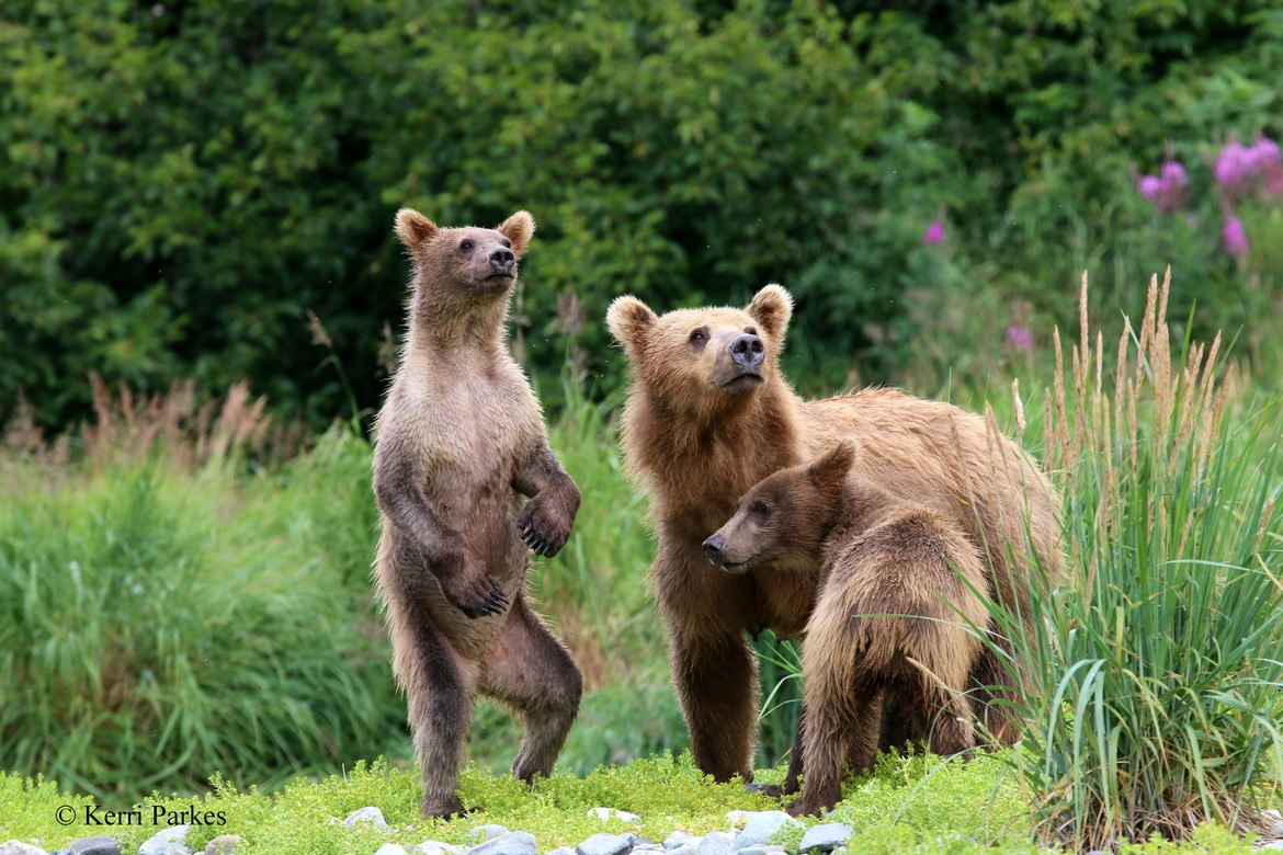 brown bear, grizzly bear, brown bear photos, grizzly bear images, grizzly cub, brown bear cub, grizzly fishing, Katmai National Park, Katmai National Park wildlife, united states wildlife photos, Alaska wildlife, Alaska bears, Alaska photos