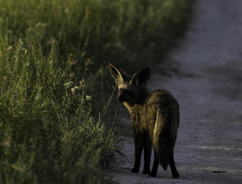bat-eared fox, bat-eared fox photos, bat-eared fox images, Botswana, Botswana wildlife, africa wildlife, africa safari, africa safari wildlife, Botswana safari, Kalahari, Kalahari wildlife, Central Kalahari Game Reserve
