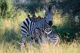 zebra, zebra images, zebra photos, Botswana wildlife, Botswana wildlife images, Botswana wildlife photos, zebras in Botswana, african safari wildlife, Botswana safari wildlife, Botswana safari wildlife photos, Okavango Delta, Okavango wildlife