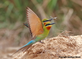 bee eater, bee eater photos, India birds, India wildlife, India bee eater, blue-tailed bee eater, blue-tailed bee eater photos, West Bengal, West Bengal wildlife, West Bengal birds