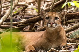 Grid puma  corcovado jewels of costa rica