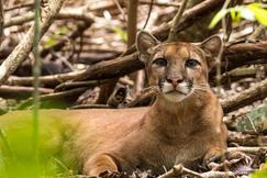 puma, puma photos, Costa Rica wildlife, pumas in Costa Rica, big cats in Costa Rica, Corcovado National Park, Corcovado wildlife