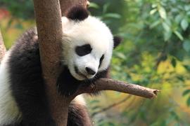 Giant panda, China, Wild Panda Nature Reserve, giant panda photos, giant panda images, China wildlife, China images, China photos, China wildlife photos