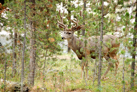 Grid yellowstone deer