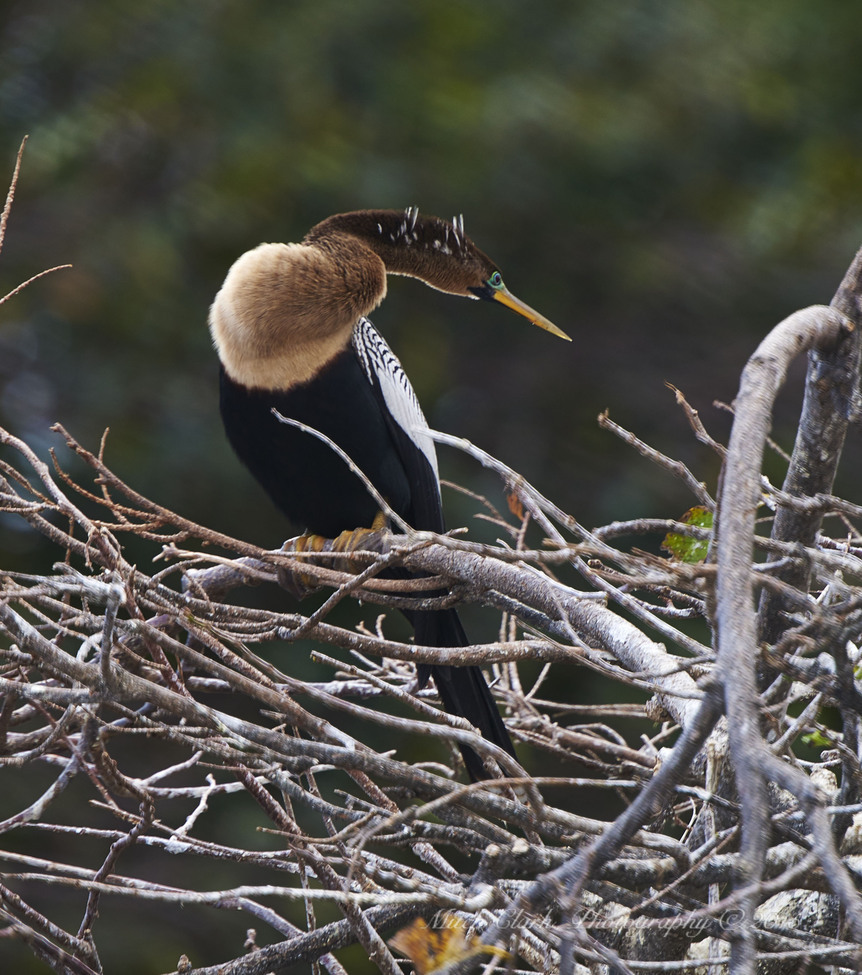 Anhinga, Anhinga photos, Anhinga in Florida, Florida birds, birding in florida, Wakodahatchee Wetlands, birds in Wakodahatchee Wetlands