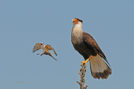 crested caracara, crested caracara photos, scissor-tailed flycatcher, scissor-tailed flycatcher photos, texas birding, birds in texas, united states birds, photos of birds from texas