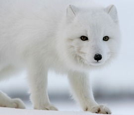 Arctic fox, Churchill, Canada, Canada photography, fox photography, arctic