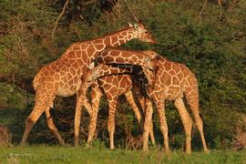 giraffe, Kenya, Africa, Samburu National Park, Samburu National Park wildlife, Kenya wildlife, Africa wildlife, Kenya wildlife photos, giraffe images, giraffe photos, African safari