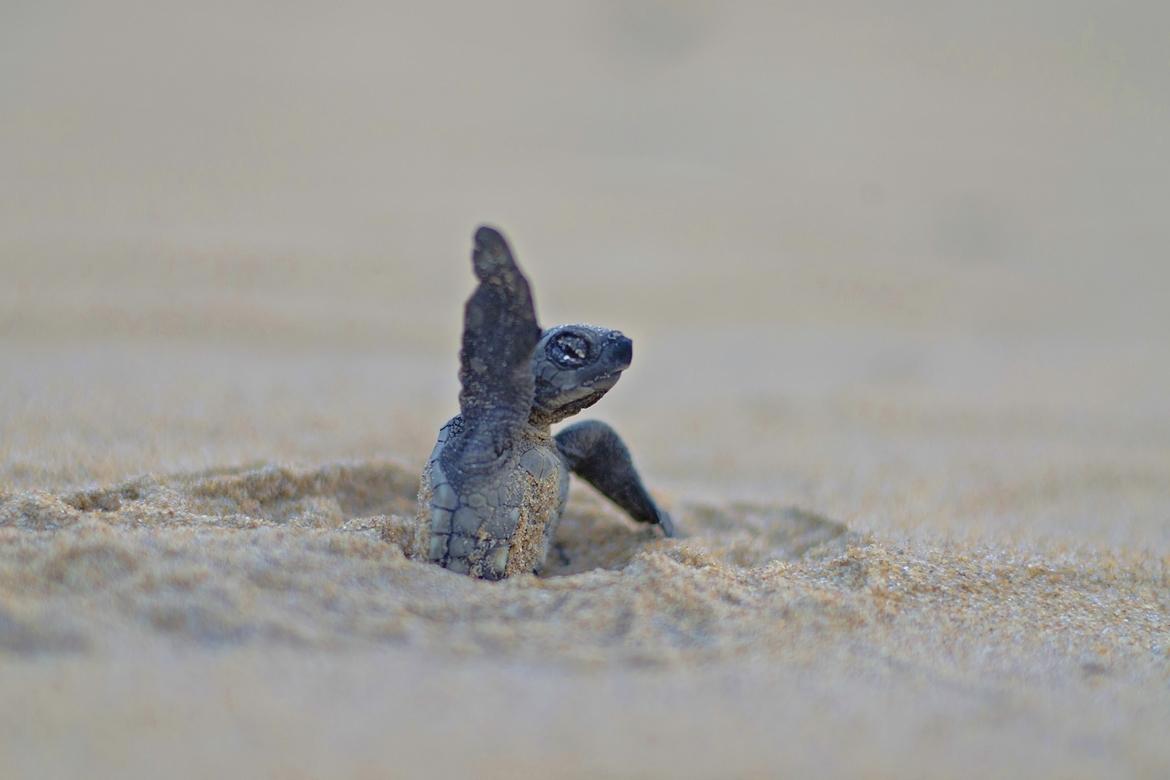 olive ridley turtle, olive ridley turtle photos, baby turtles, baby turtle photos, baby olive ridley turtles, hatchlings, India wildlife, turtles in India