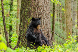 black bear, black bear photos, Cades Cove wildlife, Smokey Mountain wildlife, black bear cub, black bear cub photos, bears nursing,