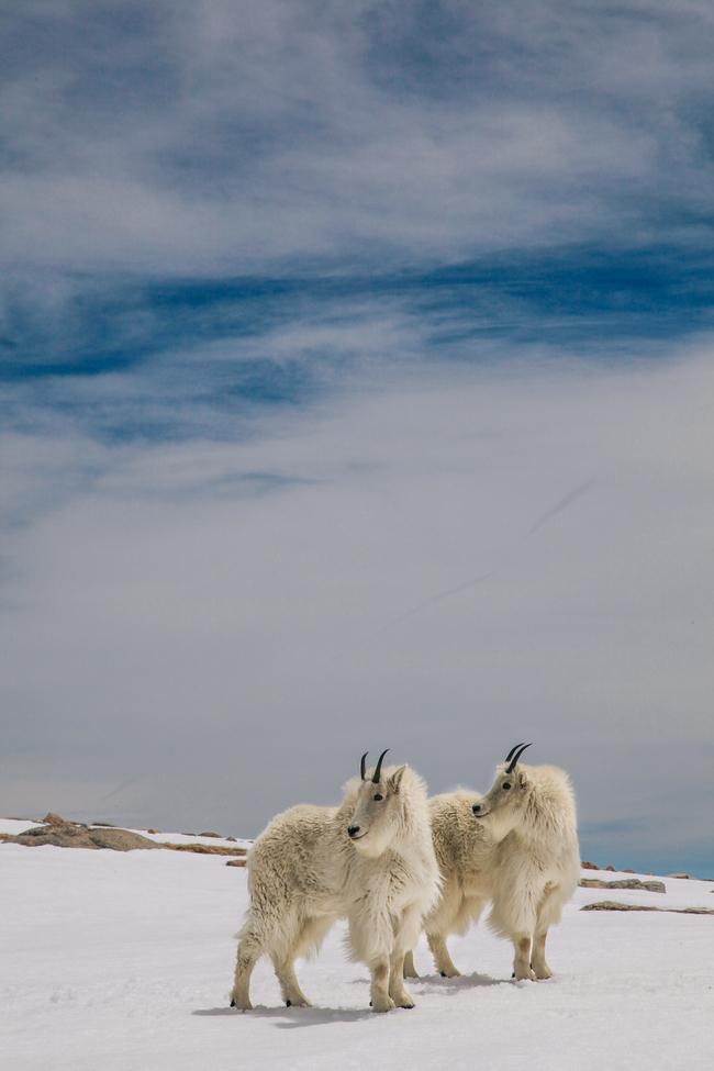 mountain goat, rocky mountain wildlife, mountain goats in colorado, colorado wildlife, rocky mountain wildlife photos, colorado wildlife photos, united states wildlife, united states wildlife photos