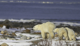 polar bears, cubs, churchill, manitoba, canada, wildlife photography