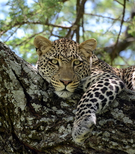 leopard, leopard photos, leopard images, tanzania wildlife, tanzania wildlife photos, tanzania safari, tanzania safari photos, african safari photos, african cats, leopards in africa, leopards in tanzania