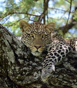 leopard, leopard photos, leopard images, tanzania wildlife, tanzania wildlife photos, tanzania safari, tanzania safari photos, african safari photos, african cats, leopards in africa, leopards in tanzania