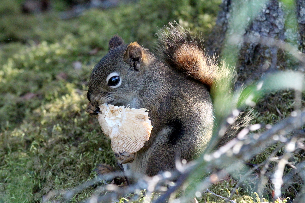 squirrel, red squirrel, squirrel photos, red squirrel photos, Alaska wildlife, Alaska wildlife photos, Katmai National Park, Katmai National Park photos