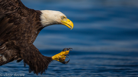 bald eagle, bald eagle photos, bald eagle images, british columbia wildlife, british columbia wildlife photos, british columbia birds, birds in canada, bald eagles in canada, bald eagles in british columbia