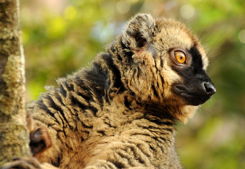 lemur, lemur photos, lemur images, madagascar wildlife, madagascar lemurs, madagascar wildlife photos, madagascar lemur photos, Ranomafana National Park, Ranomafana National Park wildlife photos
