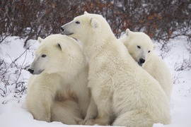 Polar bear, Churchill, Canada, Churchill photography, polar bear photography, polar bear images, polar bear pictures