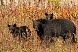 black bear, black bear photos, bears in canada, photos of bears in canada, Prince George wildlife, british columbia wildlife, black bear cub, black bear cub photos