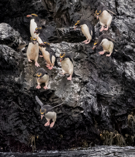 penguins, macaroni penguin, penguin photos, macaroni penguin photos, penguin images, macaroni penguin images, antarctica wildlife, penguins in antarctica