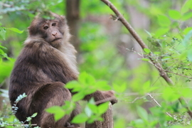 macaque, macaque images, macaque photos, china wildlife, china wildlife images, china wildlife photos, wild panda nature reserve, wild panda nature reserve photos, macaques in the wild panda nature reserve, china wildlife photography
