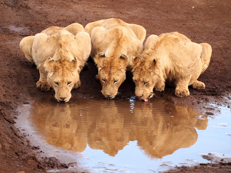 lion, lion photos, lion cub photos, tanzania wildlife, tanzania wildlife photos, africa wildlife, africa wildlife photos, lions in tanzania, Ngorongoro Crater, tanzania safari, tanzania safari photos, africa safari, africa safari photo