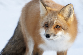 red fox, churchill, manitoba, canada, travel photography, arctic