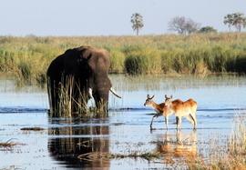 elephant, elephant photos, red lechwe, red lechwe photos, botswana wildlife, botswana wildlife photos, africa wildlife, africa wildlife photos, african safari, botswana safari, Linyanti, Linyanti wildlife, Linyanti wildlife photos