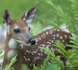 deer, deer photos, deer images, fawn, fawn photos, fawn images, united states wildlife, illinois wildlife