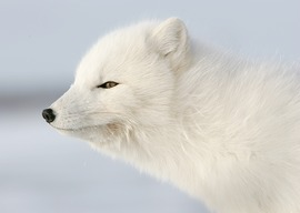 Grid arctic fox churchill eric rock 2