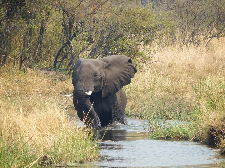 elephant, african elephant, elephant photos, african elephant photos, Botswana wildlife, Botswana wildlife photos, africa wildlife photos, africa wildlife, african safari photos, Linyanti wildlife, Linyanti wildlife photos, Linyanti Reserve