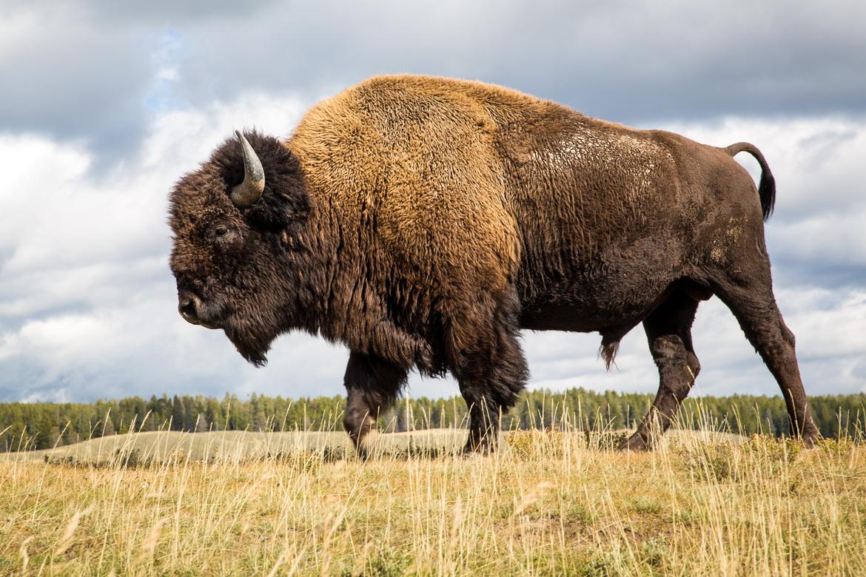 buffalo, bison, buffalo photos, bison photos, yellowstone national park, yellowstone wildlife, yellowstone national park photos, yellowstone wildlife photos, american bison, american wildlife, american wildlife photos