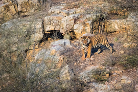 tiger photos, bengali tiger photos, tiger, bengali tiger, Ranthambore National Park, Ranthambore National Park wildlife, Ranthambore National Park wildlife photos, india wildlife, india wildlife photos