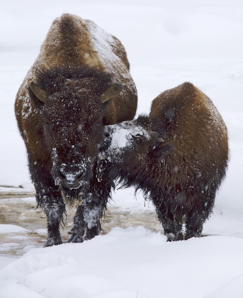 bison, bison photos, bison images, baby bison, buffalo, buffalo photos, buffalo images, yellowstone wildlife, yellowstone wildlife images, united states wildlife, baby buffalo, mother bison, mother buffalo