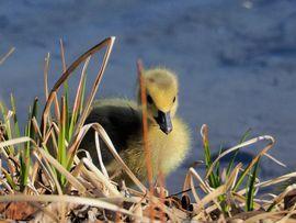 canada goose, canada gosling, canadian goose, canadian geese, canada goose photos, baby geese, canadian goose photos, calgary wildlife, calgary birds, canada wildlife
