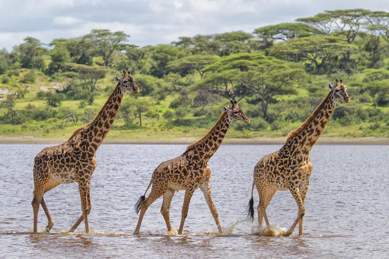 giraffe, giraffe photos, giraffe images, tanzania wildlife, tanzania wildlife photos, african safari photos, giraffes in tanzania, serengeti national park, serengeti wildlife, giraffes in serengeti, serengeti wildlife photos