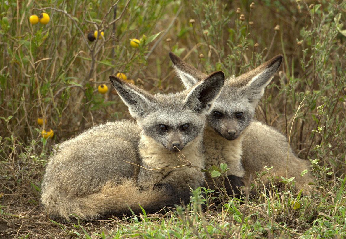 bat-eared fox, bat-eared fox photos, bat-eared fox images, tanzania, tanzania wildlife, africa wildlife, africa safari, africa safari wildlife, tanzania safari